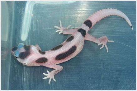 Leopard Gecko Morphs - Black Hole