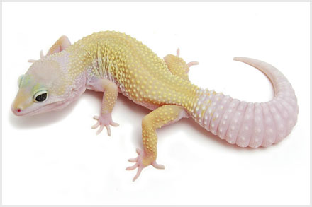 Mourning Geckos Lepidodactylus Lugubris Are An All Female Species That Clone Themselves To Reproduce A Process Known As Parthenogenesis