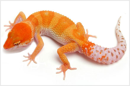Here At The Urban Gecko We Are Producing Eclipse In Bination With Other Morphs As Well Pure Which Caring No Geic Traits