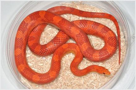 lava corn snake - photo #19