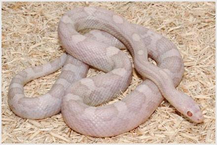 Lavender Corn Snake Image