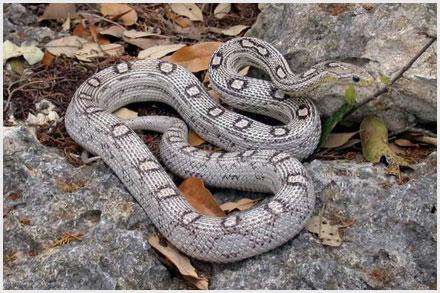 Corn Snake Morphs - Anery Motley