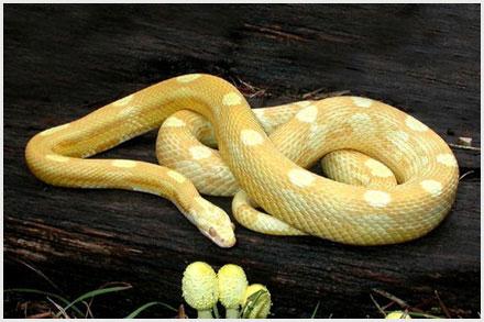 Corn Snake Morphs - Butter Motley