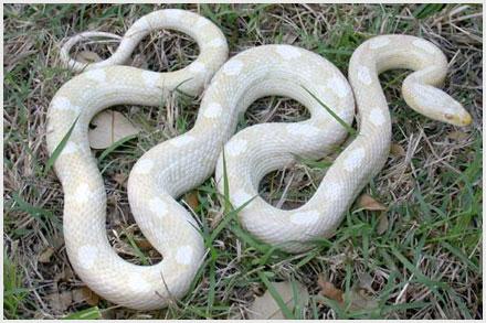 Corn Snake Morphs - Snow Motley