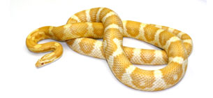 Corn Snake Calculator