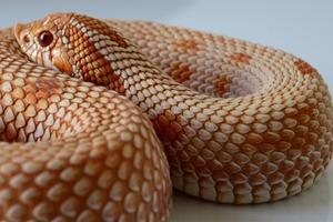Anaconda Breeding