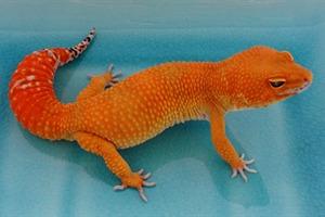 Leopard Gecko Morphs - Super Hypo Tangerine Carrot Tail Baldy