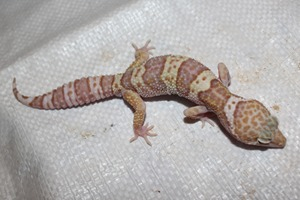 For Several Years I Have Bred Super Hypo Tangerine Leopard Geckos Each Picking The Best To Keep And Breed On In Further Also Added Rainwater