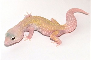 Leopard Gecko Morphs - Snowflake