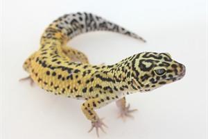 Halloween Mask Leopard Gecko.Leopard Gecko Morphs Halloween Mask