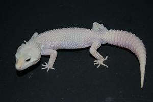 Leopard Gecko Care Sheet Geckos Super Giant Raptor Female Phoebe
