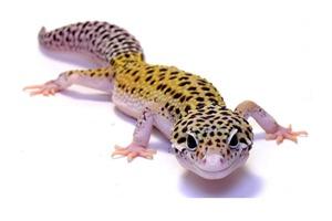 leopard gecko eclipse eyes