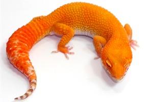 Geckos Leopard Gecko Breeder Blood Albino