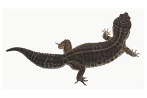 Leopard Gecko Morphs - Black Pearl