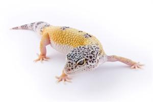 Leopard Gecko Morphs - Hypo -  9.8KB
