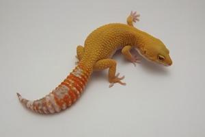 Leopard Gecko Morphs - Super Hypo Tangerine